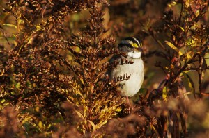Yellow-Browed Sparrow1