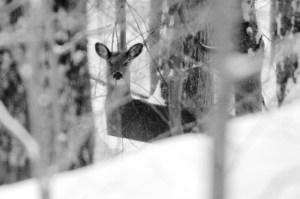 Deer- Egypt Rd-BW