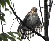 Wet Coopers Hawk