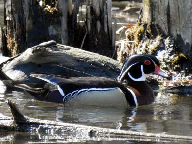 Wood-Duck-Male1