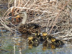 Ducklings-2018
