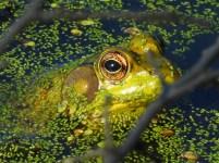 Eye-Frog-sm