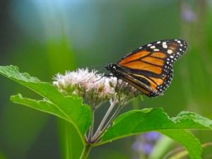 Monarch-072918-forestportRes