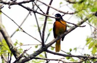 Orchard-Oriole-2-2018