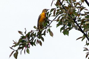 Orchard-Oriole-2018