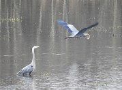 Two blue herons