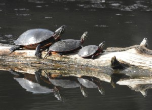 Painted Turtle Family