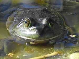 Bullfrog on the Rayhill Trail