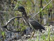 BlackCrowned-Night-Heron-shore-web