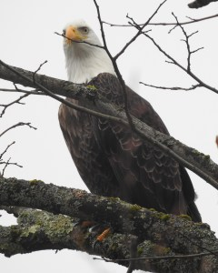 Bald Eagle Dec 31, 2019