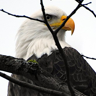 Closeup Bald Eagle