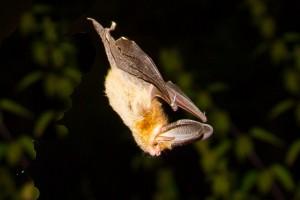 Brown Long-eared Bat by Miranda Collett