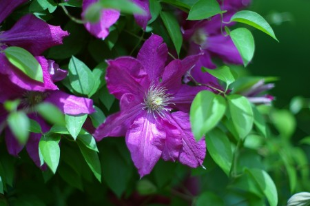 Another clematis...