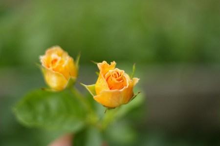 English Rose Buds