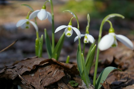 More Snowdrops!