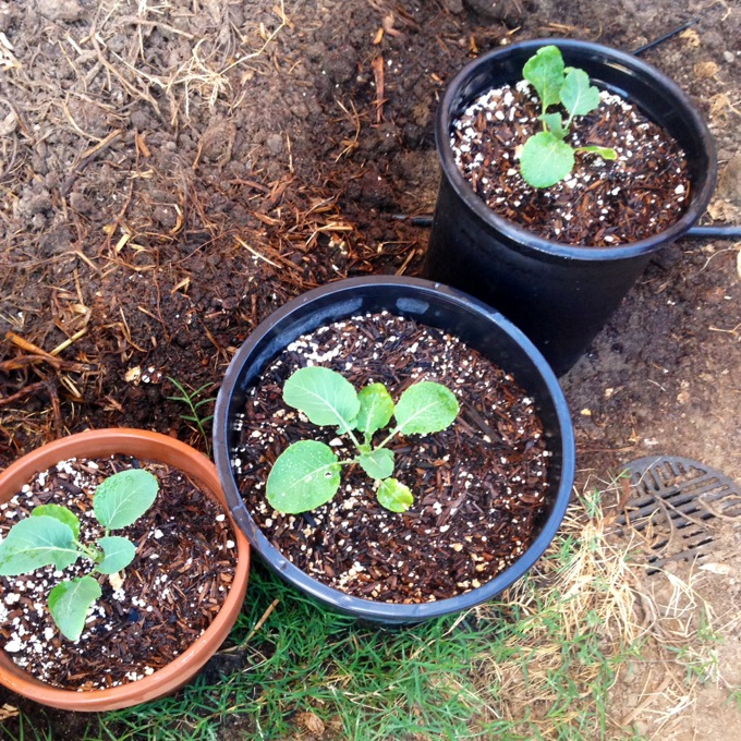 Cauliflower Sprouts