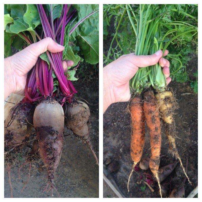Growing Beets and Carrots