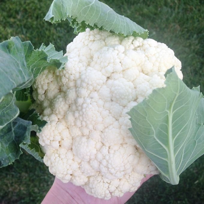 Homegrown Cauliflower