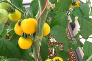 Yellow Galina Tomatoes