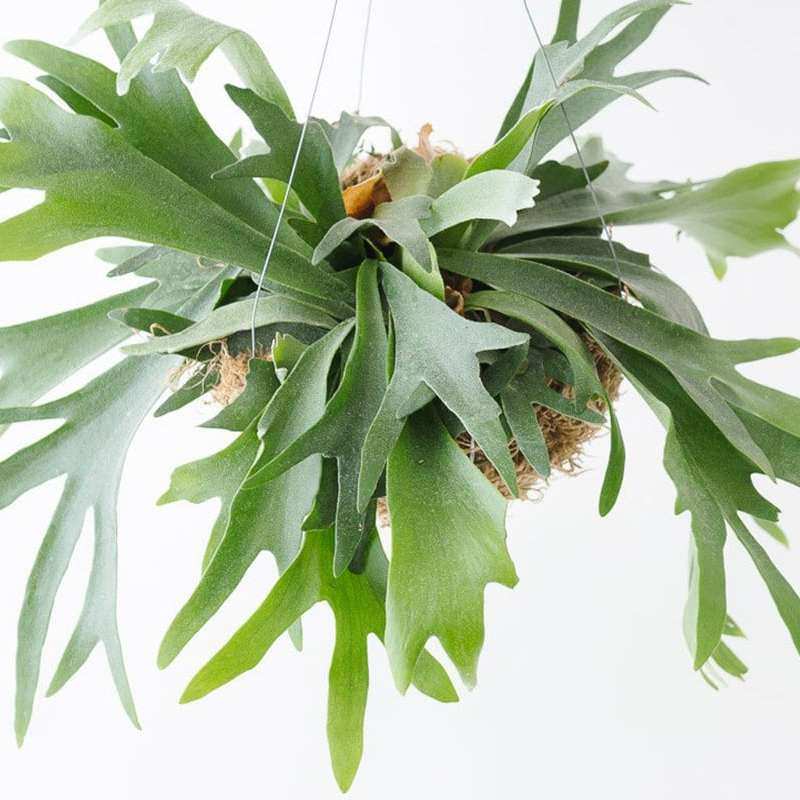 10 Non Toxic Houseplants That Won't Kill Pretty Kitty | Staghorn Fern | Common House Plants | Jessica Brigham | Magazine Ready for Life
