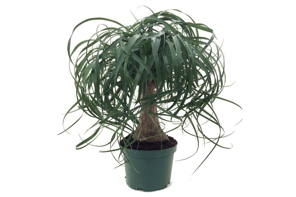 10 Non Toxic Houseplants That Won't Kill Pretty Kitty   Ponytail Palm   Common House Plants   Jessica Brigham   Magazine Ready for Life