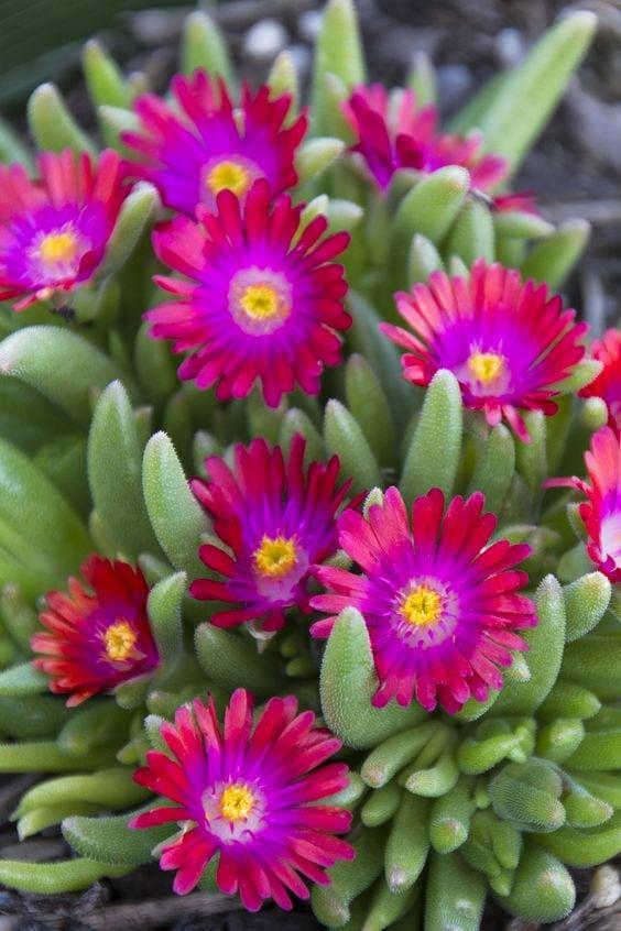 10 Non Toxic Houseplants That Won't Kill Pretty Kitty   Ice Plant   Common House Plants   Jessica Brigham   Magazine Ready for Life