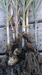 Gardener Life Garlic