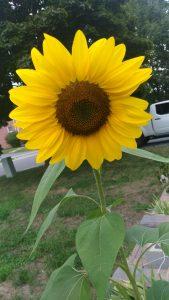 Gardener Life Sunflower