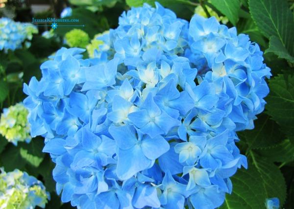 blue hydrangea watermarked