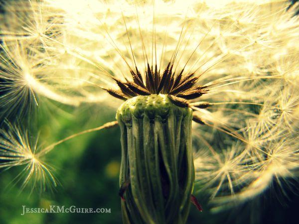 dandelion seeds watermarked jkmcguire