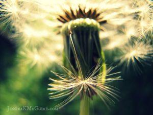 macro dandelion seeds watermarked jkmcguire