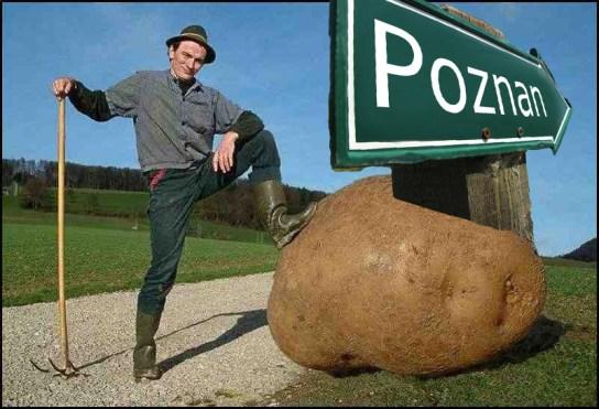 kartofel pyra poznańska ziemniak