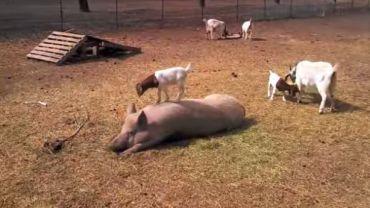 Ta mała kózka wspina się po świni!