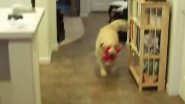 Ten pies zrobił coś niesamowitego z tymi wszystkimi porozrzucanymi zabawkami!