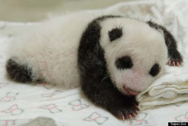 baby-panda2