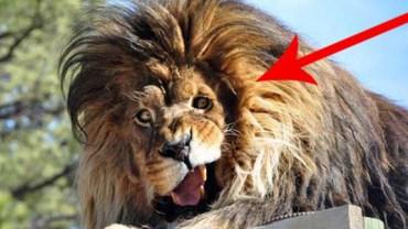 Ten lew rozśmieszy cię do łez!