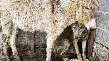 Okrutni mieszkańcy wpuścili do zagrody wilka! Chcieli, żeby pożarł znajdującego się tam osła! Reakcja zwierzęcia była niesamowita!