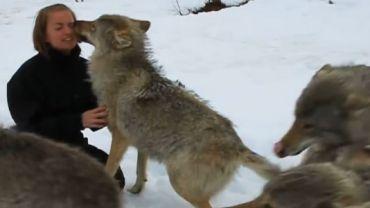 Niektórych przyjaźni nie zniszczy nawet długa rozłąka. Zobacz, jak wilcza wataha powitała swoją dwunożną krewniaczkę.