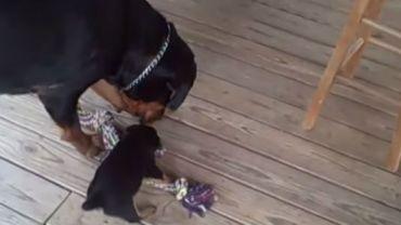 Mały rottweiler wyzwał matkę na pojedynek w przeciąganiu liny. Efekt okazał się niesamowicie zabawny :)