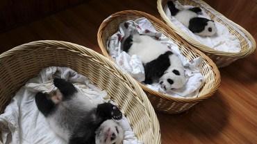 Te cudne pandy od kilku dni można podziwiać Centrum Hodowli Bifengxia Ya'an Giant Panda w Chinach!