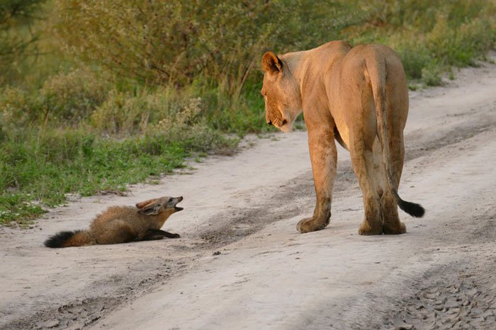 01-lioness-protects-injured-baby-fox