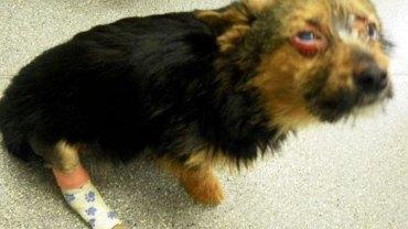 Ukradli tego szczeniaka, nafaszerowali go narkotykami i połamali mu łapy. W takim stanie zostawili go na pewną śmierć!