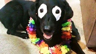Poznajcie Rowdyego — najdziwniejszego labradora na świecie. Powiedzieć, że jest niesamowity to za mało!