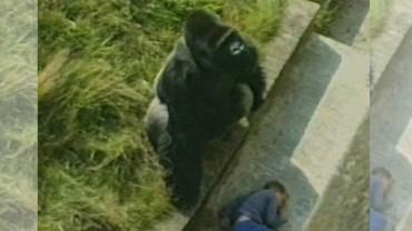 Ten wypadek w zoo mógł się zakończyć tragicznie... Zachowanie goryla zaskoczyło wszystkich!