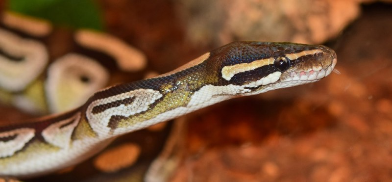 snake pas