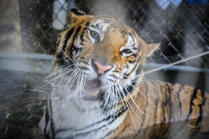 aasha-tiger3