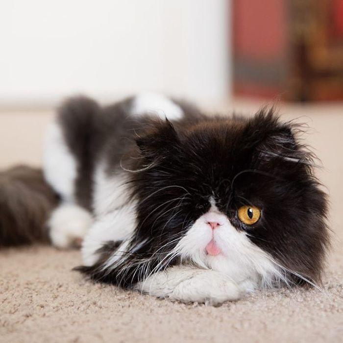 Pirate Cat (3)