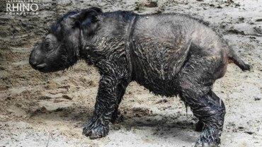 Po 124 latach w Indonezji znów zaczynają przychodzić na świat nosorożce sumatrzańskie. Czy uda się ocalić ten ginący gatunek?