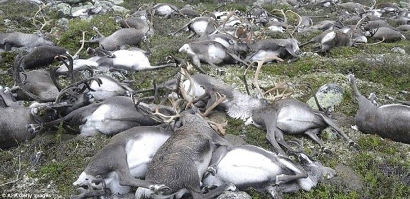 dead-reindeer1