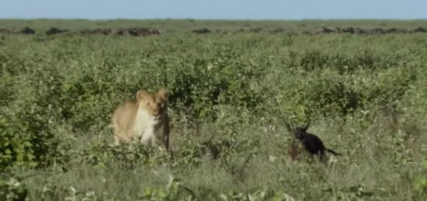 hunting-lioness-1